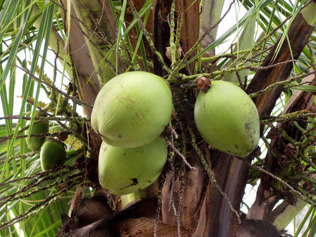 coconuts-546841_1280
