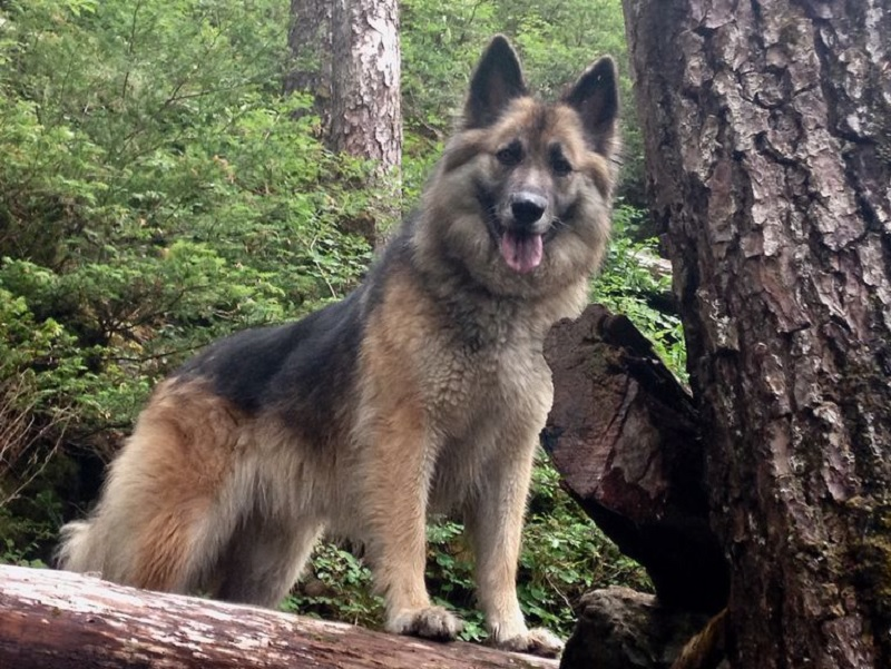 Cachorra morre após proteger corredora de ataque de urso 2